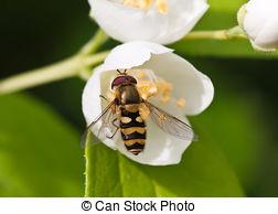 Stock Image of Eristalis tenax on tridax procumbens flower.
