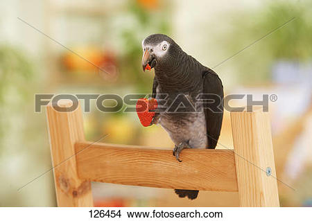 Stock Photo of Timneh African Grey parrot.
