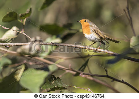 Stock Image of Robin redbreast (Erithacus rubecula).