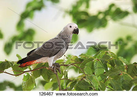 Picture of Congo African Grey parrot on twig / Psittacus erithacus.