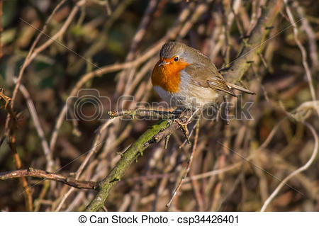 Stock Photography of Robin redbreast (Erithacus rubicula).