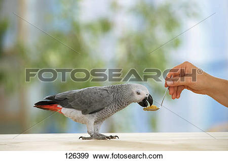 Stock Photograph of Congo African Grey parrot is getting food.