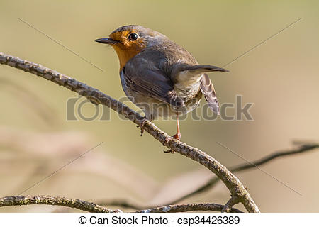 Pictures of Robin redbreast (Erithacus rubicula).