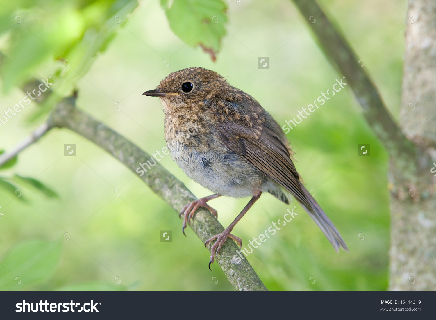 Juvenile Robin (Erithacus Rubecula) Stock Photo 45444319.