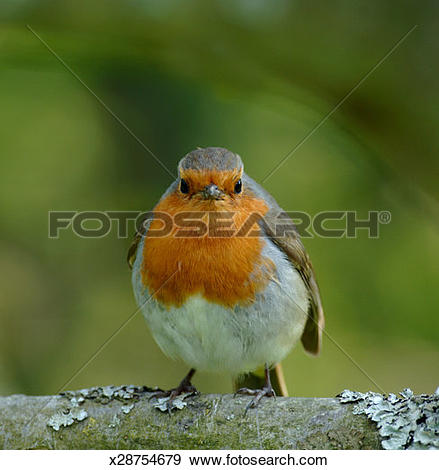 Stock Photograph of Robin (Erithacus rubecula), close.