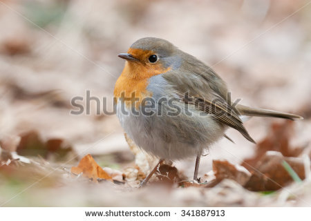 Erithacus Rubecula Stock Photos, Royalty.