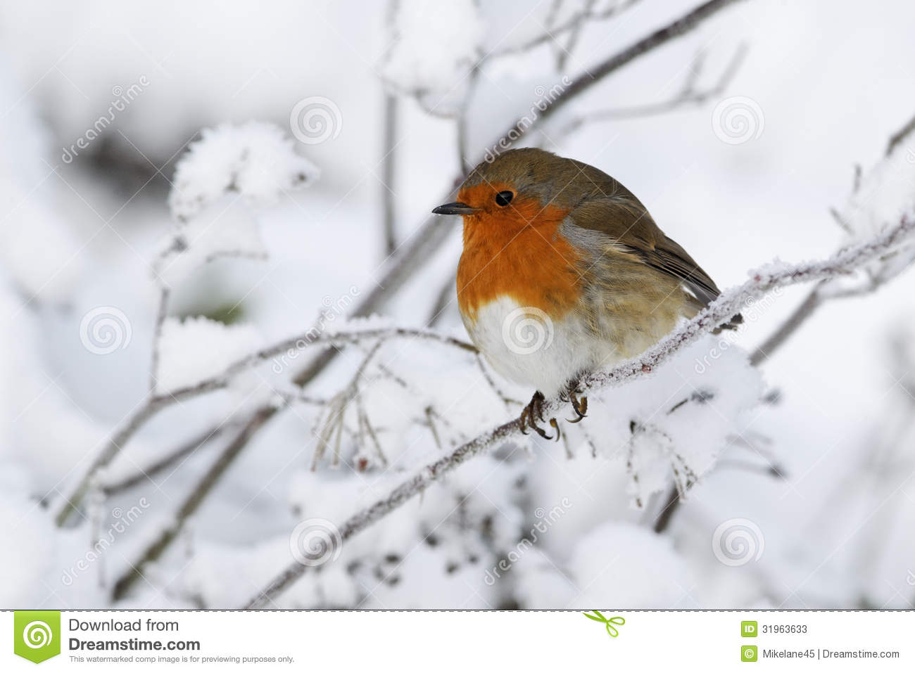 Robin, Erithacus Rubecula Stock Photos.