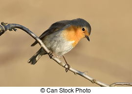 Stock Photography of European robin (erithacus rubecula) perched.
