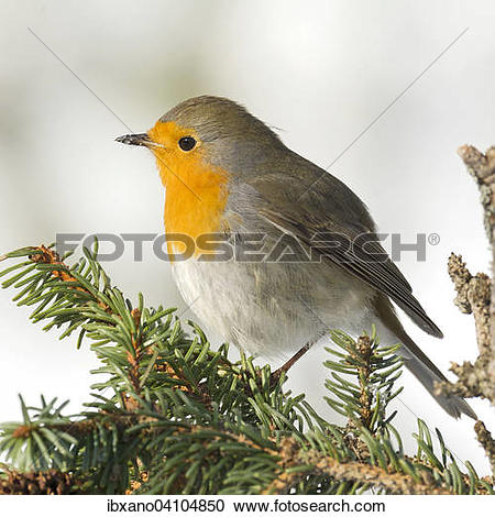 Stock Photography of European Robin (Erithacus rubecula), Tyrol.