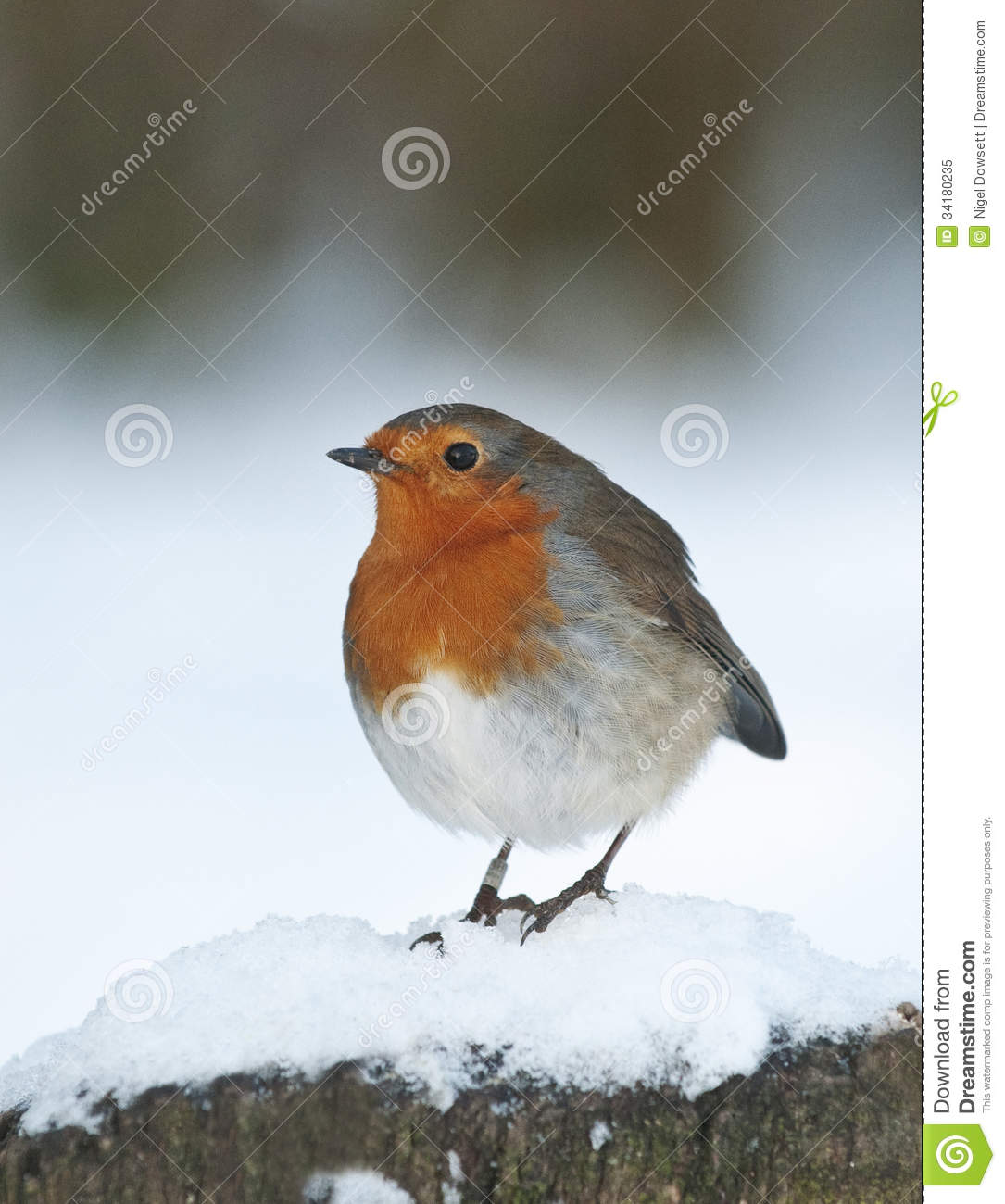 European Robin (Erithacus Rubecula) Royalty Free Stock Photo.