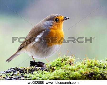 Pictures of Petirrojo, Erithacus rubecula we092888.