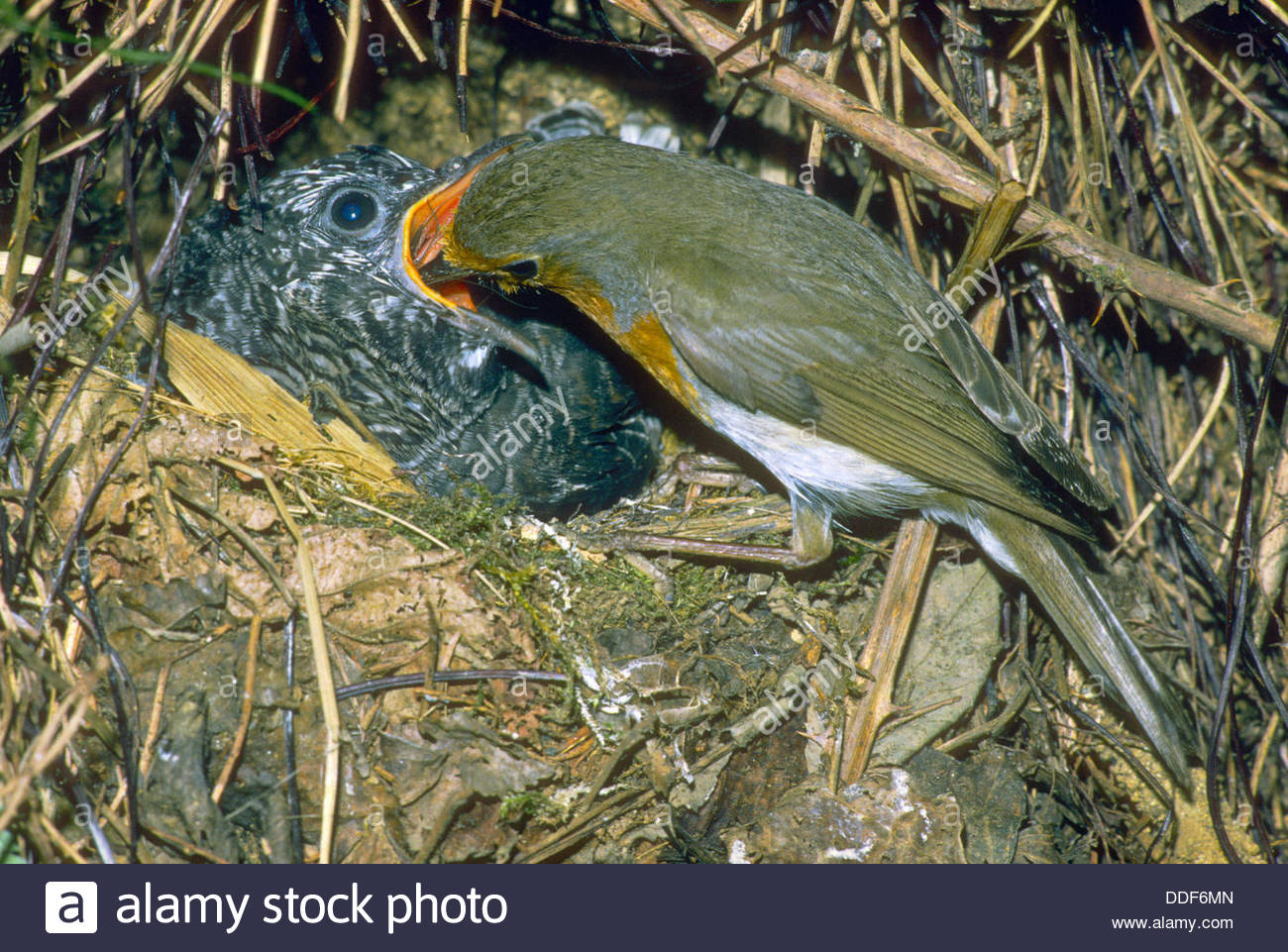 Common Cuckoo (cuculus Canorus) Chick, In Nest Of Eurasian Reed.