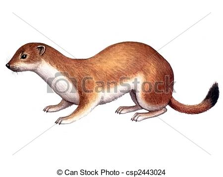 Ermine Clipart and Stock Illustrations. 160 Ermine vector EPS.