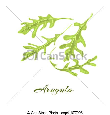 EPS Vectors of Rucola or arugula herb..