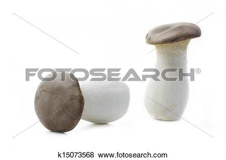 Pictures of King trumpet mushrooms (Pleurotus eryngii) k15073568.