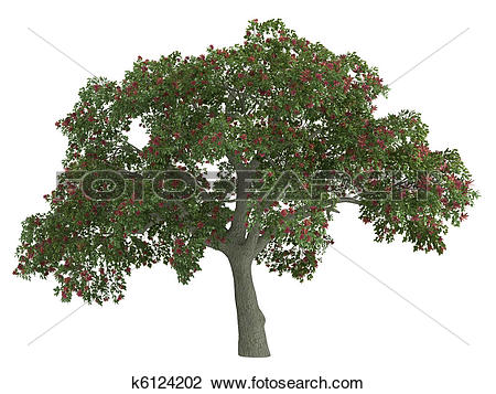 Clip Art of Coral tree or Erythrina k6124202.