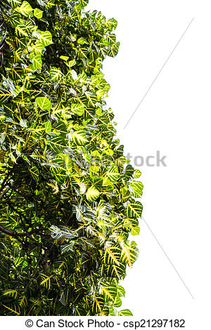 Pictures of Erythrina variegata leaf on white csp21297182.