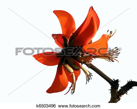 Stock Images of Erythrina.