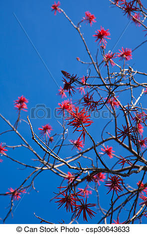 Stock Photos of flowering Erythrina, coral tree or flame tree.