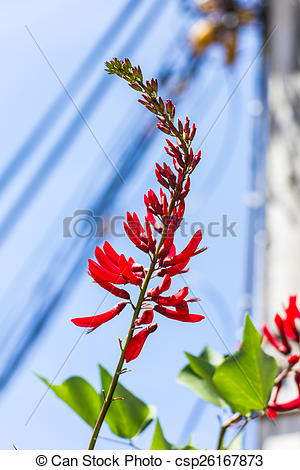 Picture of Erythrina variegata (Parichat flowers) csp26167873.