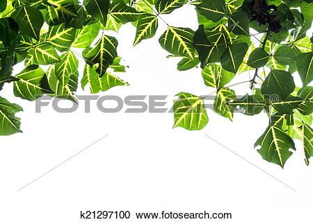 Stock Photography of Erythrina variegata leave k21297100.