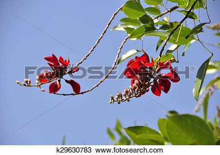 Stock Photo of Cockspur Coral Tree (Erythrina cris k29630783.