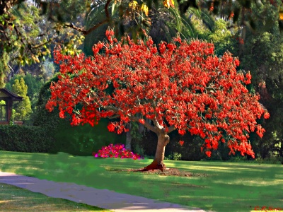 Tropical Erythrina Crista Galli, Coral Trees, Coral tree.