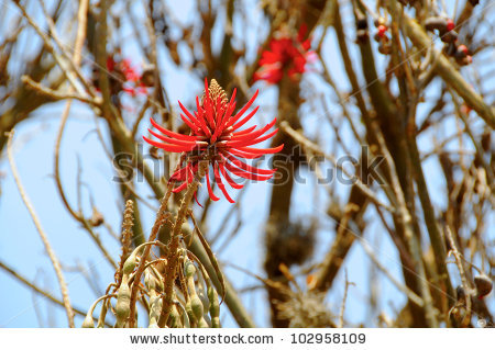 Coral Tree Stock Photos, Royalty.