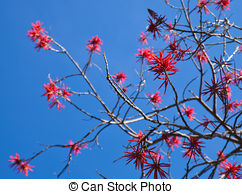 Picture of Erythrina.