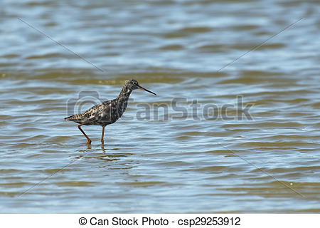 Stock Photography of Spotted Redshank walking through shallow.