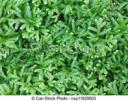 Stock Photography of Selaginella erythropus.