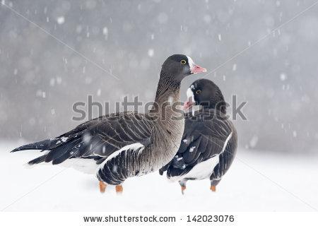 Snow Birds Stock Photos, Royalty.