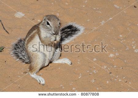 Striped Ground Squirrel Xerus Erythropus Kalahari Stock Photo.