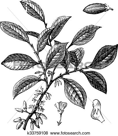 Clip Art of Cocaine or Coca or Erythroxylum coca vintage engraving.