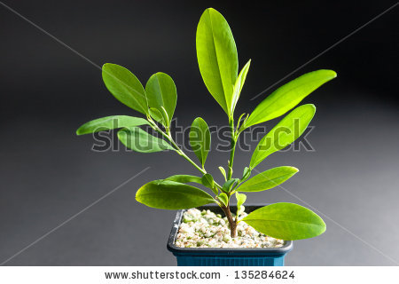 Coca Plant Erythroxylum Coca Growing Tub Stock Photo 135284624.