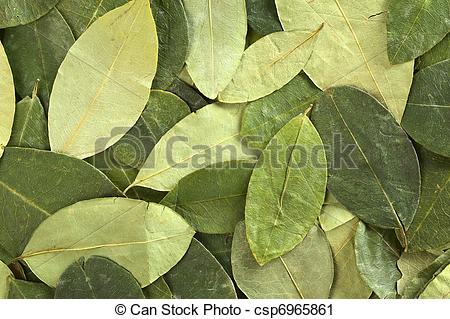 Stock Photography of Dried coca (lat. Erythroxylum coca) leaves as.