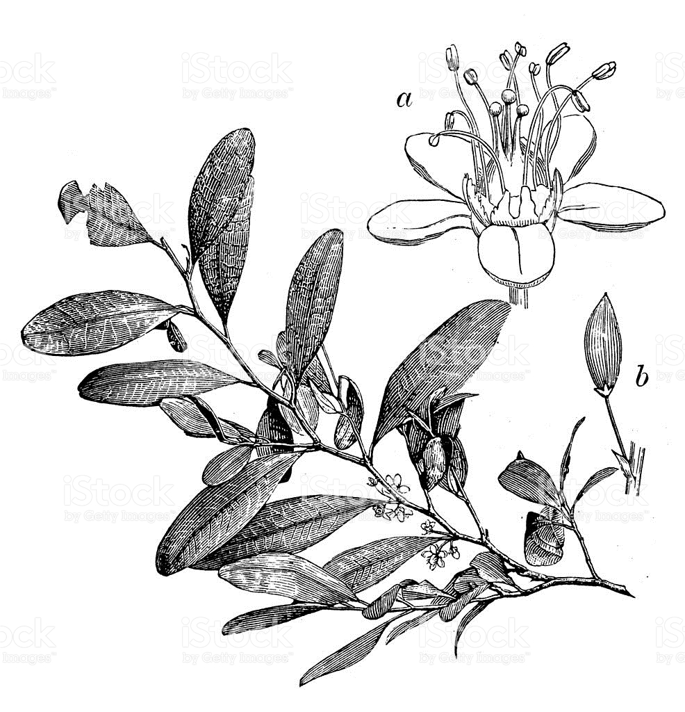 Antique Illustration Of Erythroxylum Coca stock vector art.
