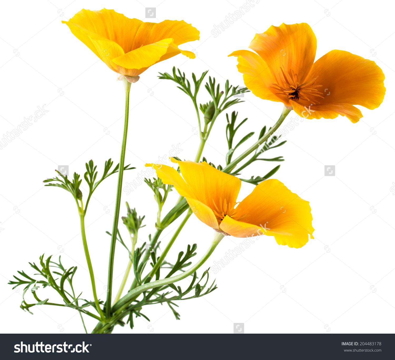 Flower Eschscholzia Californica California Poppy Golden Stock.