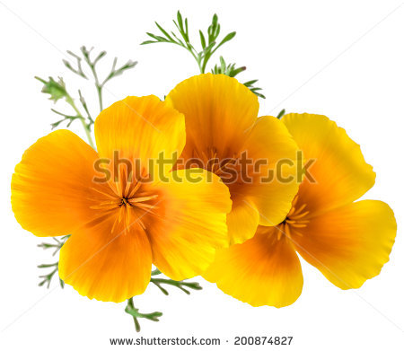 California Poppy Isolated Stock Photos, Royalty.