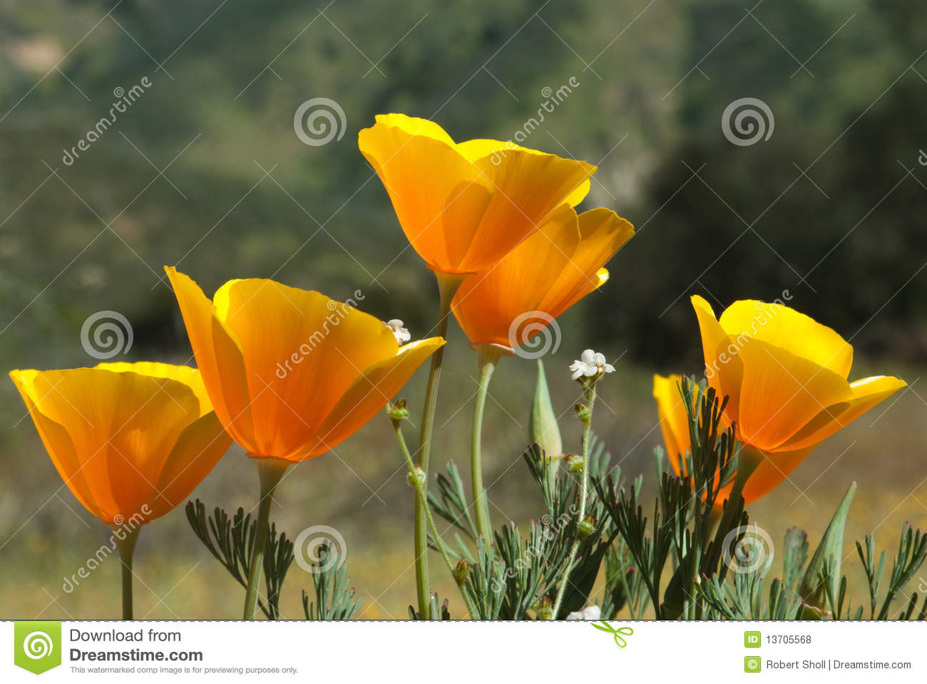 California Poppy Royalty Free Stock Photos.