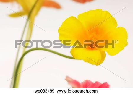 Stock Photograph of Yellow California Poppy, Flower Bouquet.