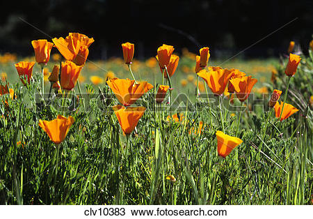 Stock Photo of CALIFORNIA POPPY PLANTS (Eschscholzia californica.