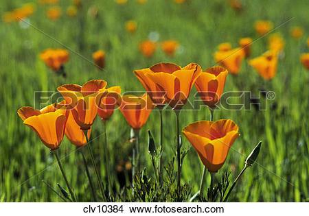 Stock Photo of CALIFORNIA POPPY PLANTS (Eschscholzia californica.