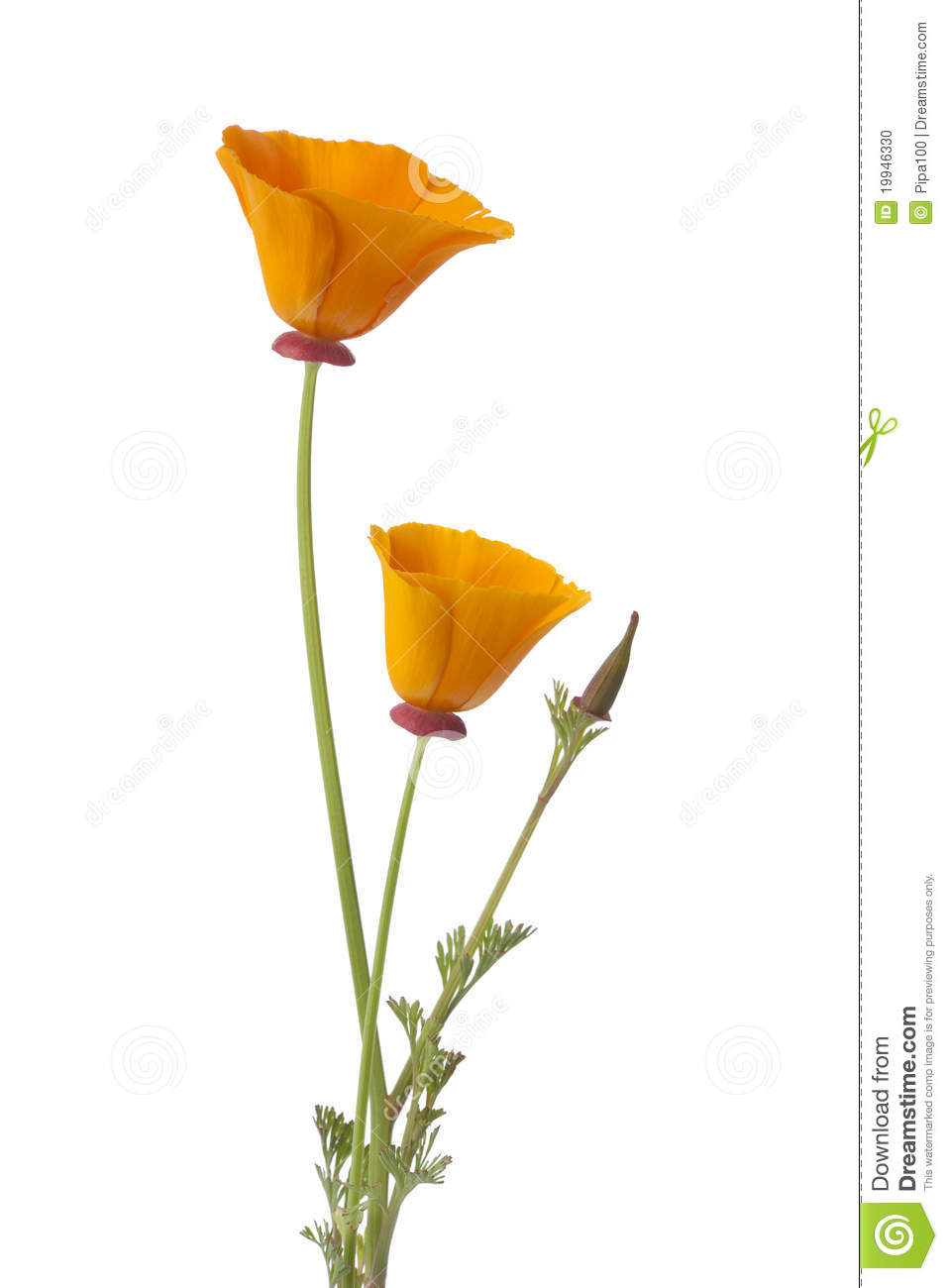 California Poppy And Buds Stock Photo.