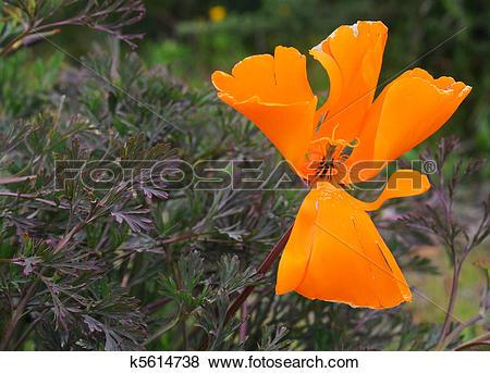 Pictures of Orange Californian poppy (Eschscholzia californica) in.
