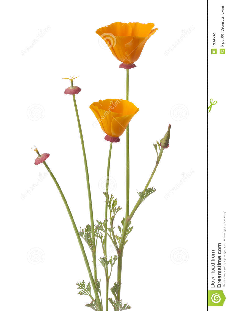 California Poppy And Buds Royalty Free Stock Photos.