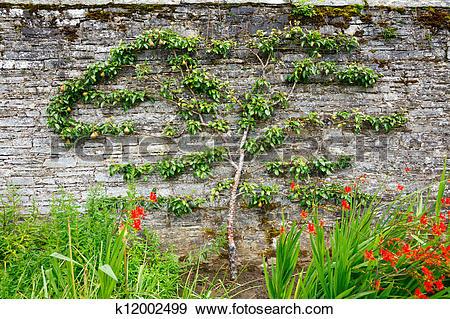 Stock Photograph of Horizontal espalier pear tree k12002499.