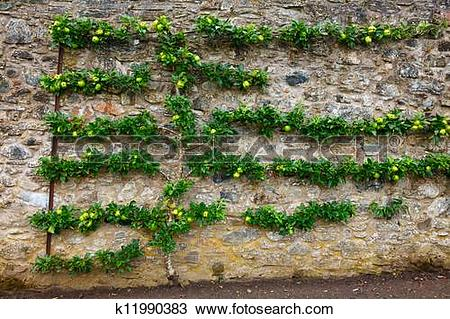 Stock Photo of Horizontal espalier apple tree k11990383.