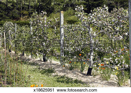 Stock Photography of Espalier apple trees flowing in the spring.