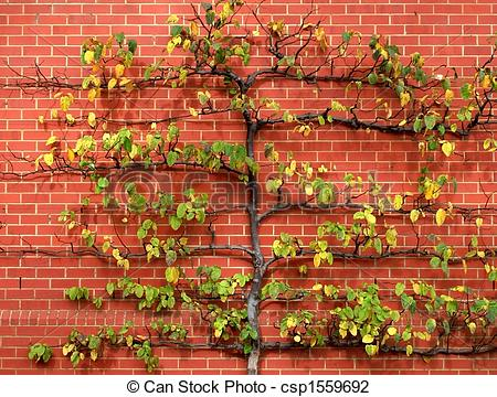 Stock Photo of Espalier Tree against Red Brick Wall.
